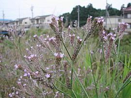 Asakuragawaarechihanagasa03s